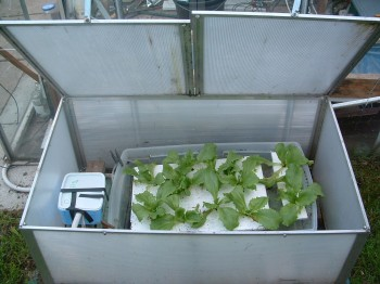 Timelapse shot of the Lettuce plants growing in the outside water culture bubbler hydroponic system
