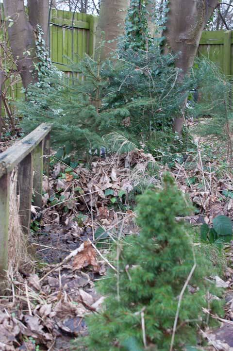 Our mini pine forest at the bottom of our garden