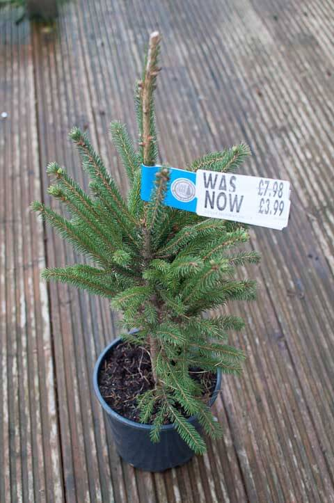 The Norway Spruce ready to be planted.