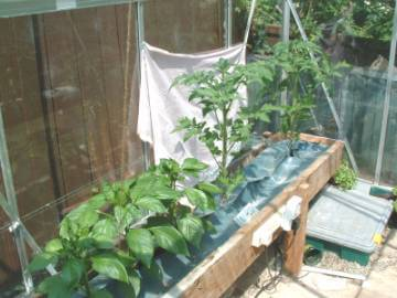 The wooden hydroponic NFT Channels showing the peppers and tomato plants
