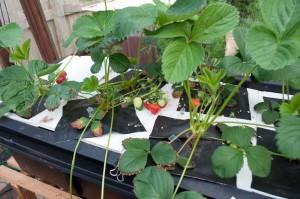 First Strawberries in the Flood and Drain System