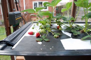 First Strawberries in the Aeroponic System
