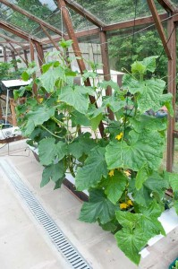 Cucumber plants after 4 weeks in the NFT system