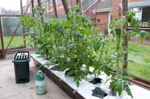 Tomato plants after 2 weeks in the hydroponic system.