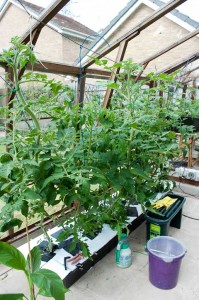 Tomato plants after 4 weeks in the NFT system