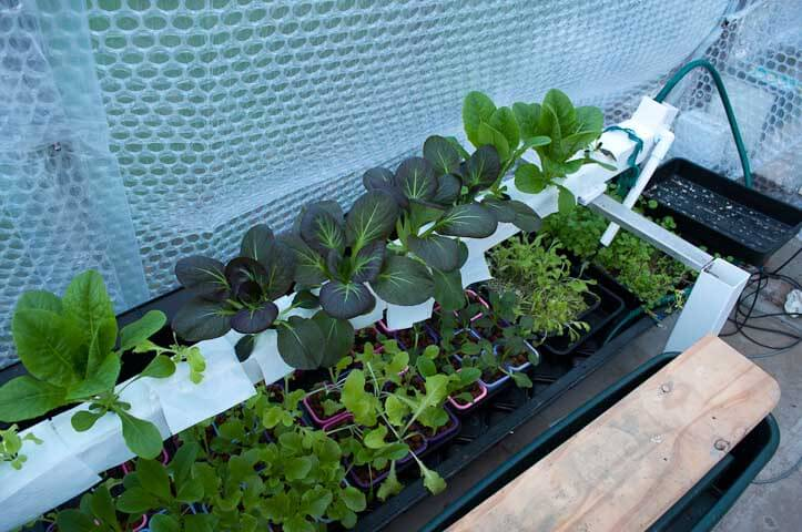 My Pak Choi and Winter lettuce growing in my Ebb and Flood trial system over the top of my flooding converted NFT tank growing more plants and watercress.