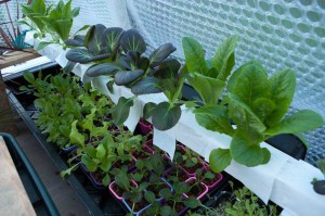 My second winter hydroponic setup showing my ebb and flood Pak Choi system.