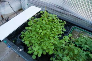 A closeup of the watercress I'm growing with the continously flowing nutrient solution.